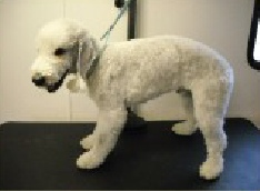 Bedlington Terrier Breed Info