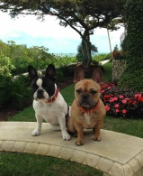French Bulldog Breed Info