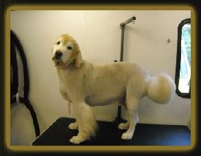 Shaved golden retriever