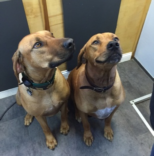Rhodesian Ridgeback Mobile Breed Info