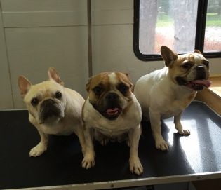 French Bulldog Mobile Breed Info