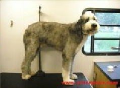 Old English Sheepdog Breed Info