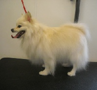 Pomeranian Mobile Breed Info