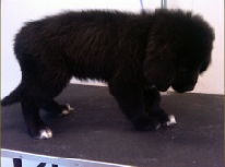 Newfoundland Mobile Breed Info