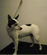 Rat Terrier Mobile Breed Info