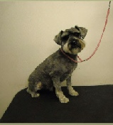 Schnoodle Mobile Breed Info