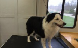 Border Collie Breed Info